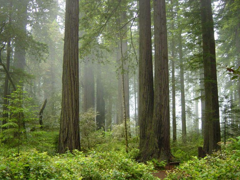 Redwood_National_Park,_fog_in_the_forest