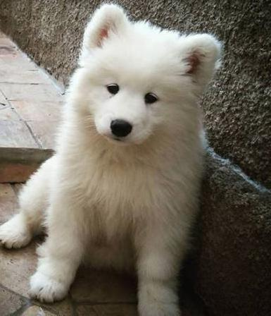 Samoyed-puppies-for-sale-in-Texas